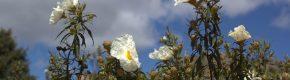 Jara Blanca – Cuando la vida niegue su sonrisa
