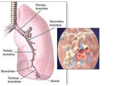The breathing tubes (bronchus) divide many times and end in air sacs (alveoli).