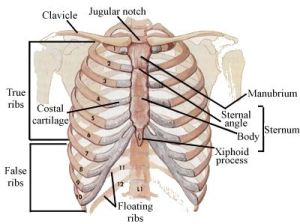 Locations of the chest for pain