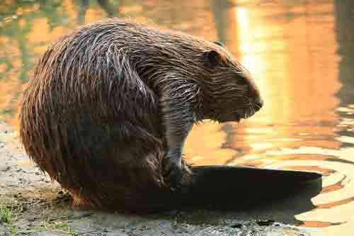 California Golden Beaver