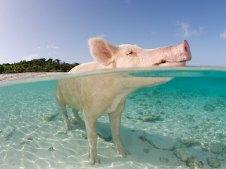 la isla de los cerdos en las bahamas