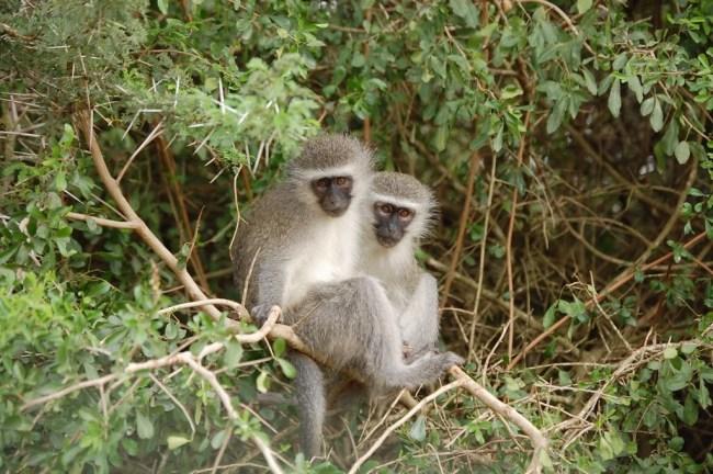 Monos sobre el árbol