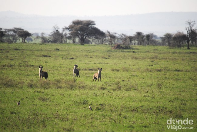 Hienas siendo cazadas por leones
