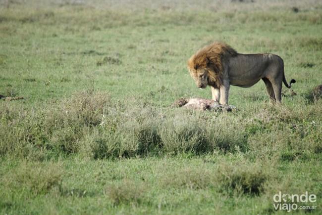 León cazando en Tanzania