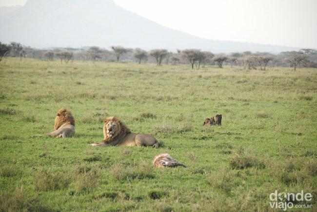 Leones descansando en la savanna