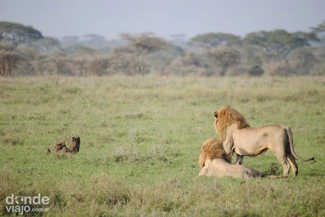 Leones en PN Serengueti