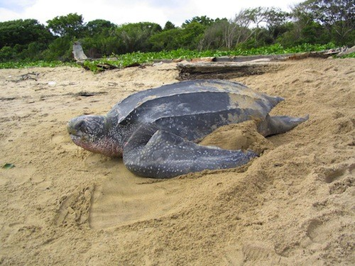 A healthy Leatherback Turtle pictured in French Guiana. Pic by Dr Tom Doyle.