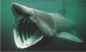 The huge Basking Shark is usually found in Donegal waters in summer months.