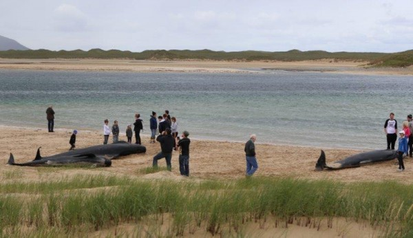 Locals attempt to rescue a number of Pilot whales washed up on a Falcarragh beach. Pic copyright nwnewspix.