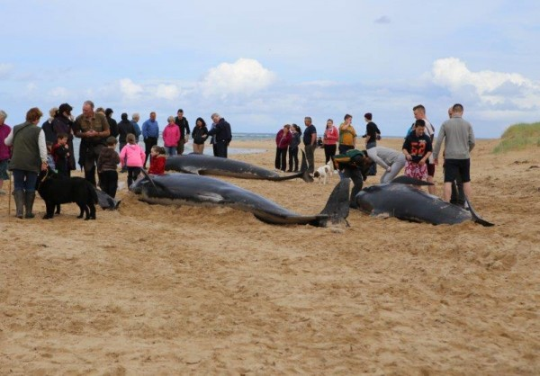 A large crowd have gathered on Ballyness Bay to help return the stranded Whales to the water. pic copyright nwnewspix