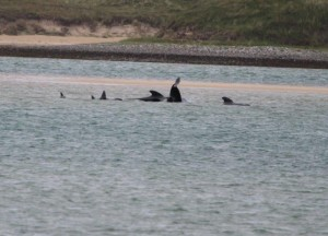 Some of the Whales were re-floated to the water at Ballyness Bay. pic copyright nwnewspix