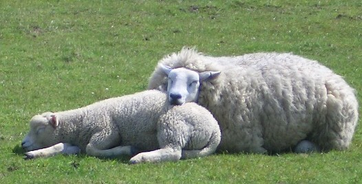 https://i1.wp.com/www.donfeidner.de/assets/images/7793_Mama_and_baby_sheep.jpg