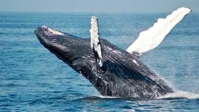 تفاصيل جديدة : 380 حوت من الحيتان الطيارة تنفق في خليج تاسمانيا
