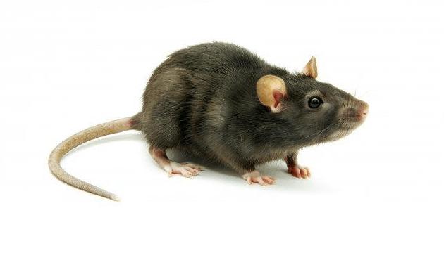 ratten en muizen | donkers plaagdierbeheersing, Gartenarbeit ideen