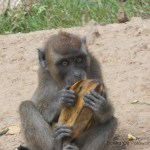 Palawan Monkeys