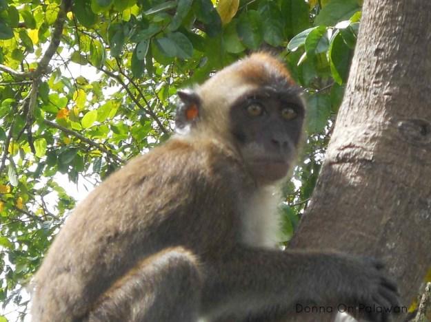 Palawan Monkey www.donnaamisdavis