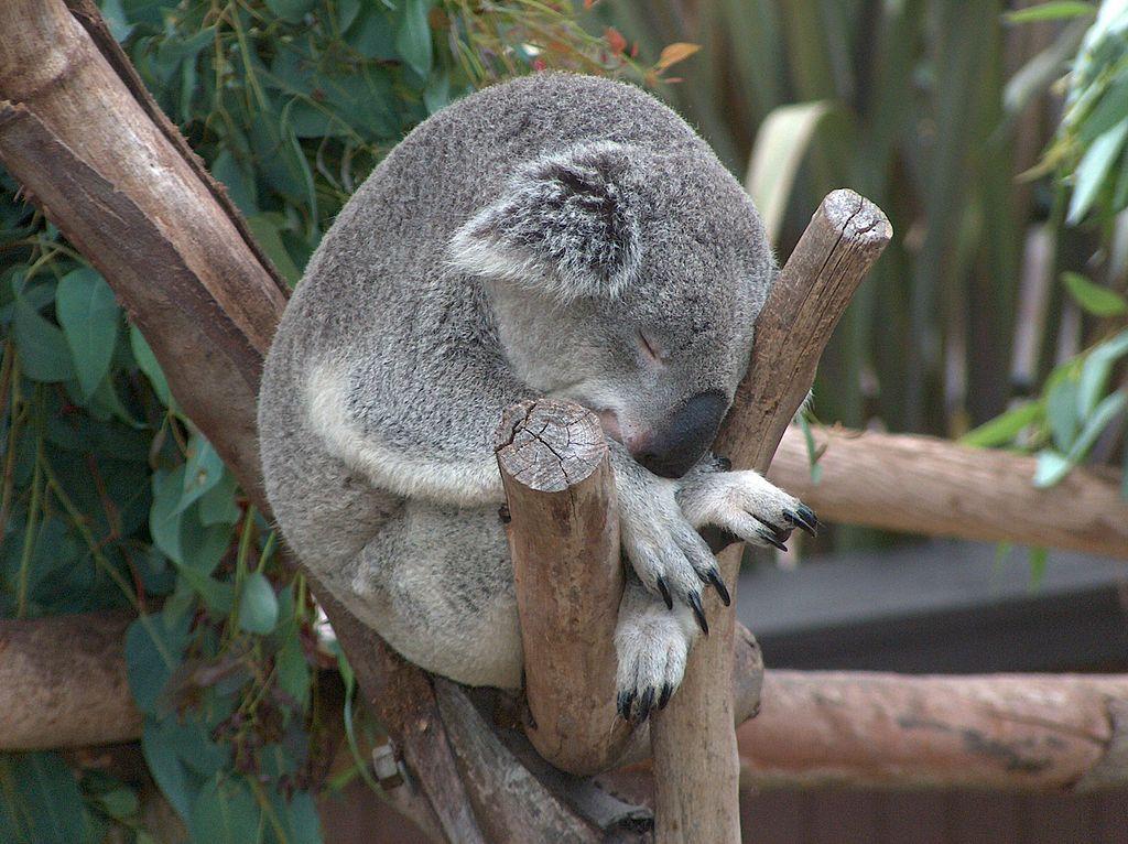 koala-sleeping