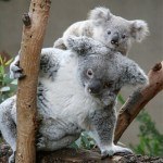 K is for Koalas