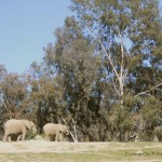 E is for Eucalyptus Trees (and Elephants)