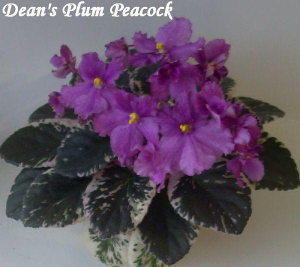 Фиалка Dean's Plum Peacock