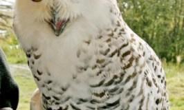 Species on the move: Snowy Owl : BirdCast