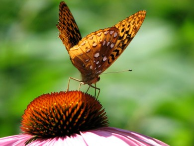 Great Spangled Fritillary on Echinacea purpurea in my garden