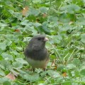Dark-eyed Junco (junco hyemalis) in my garden.