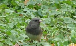 Identifying Little Gray Birds