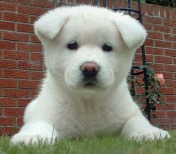 Comprar Filhotes de Cachorro São Paulo Comprar Filhotes de Cachorro - São Paulo