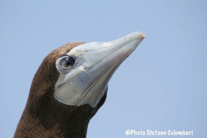 Attentive gannet