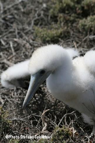 Baby gannet