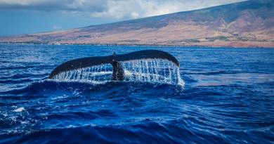Környezetvédők, hírességek nyílt levélben szólították fel Japánt a bálnavadászat leállítására