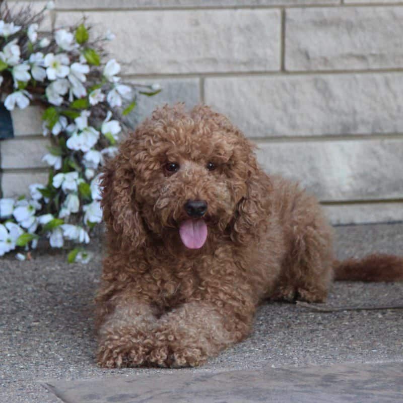Red Moyen Poodle is a father to Goldendoodles and Moyen Poodles