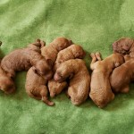 Our Current Litter Labradoodle Doubledoodle Goldendoodle Puppies