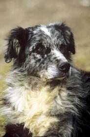 Resultado de imagen de perro pastor leones