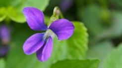 Wild violet.