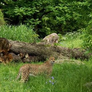Geparden Anlage Kölner Zoo