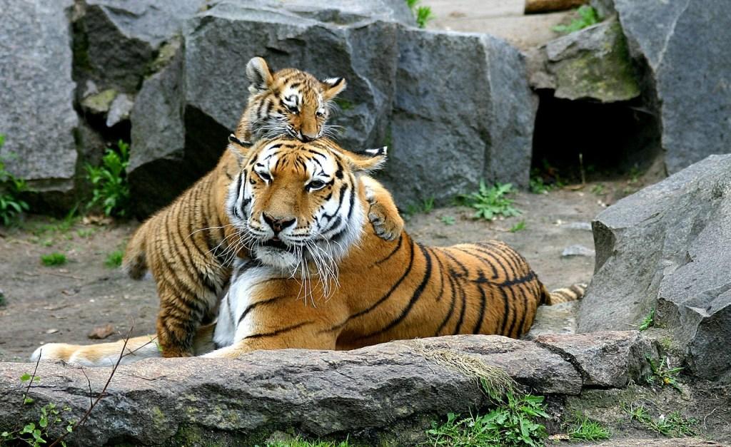 Tiger Zoo Berlin Tiergarten