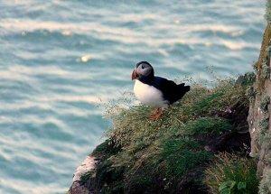 Puffin on north Scottish coast