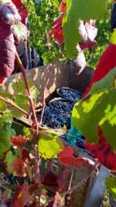 Manden met druiven in de wijngaarden