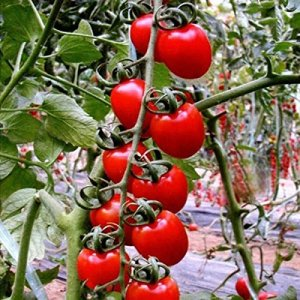 Bluelover 30Pcs British Cherries Graines De Tomates Plantes De Jardin