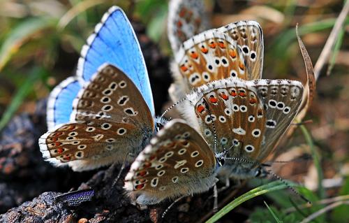 Adonis Blue butterflies