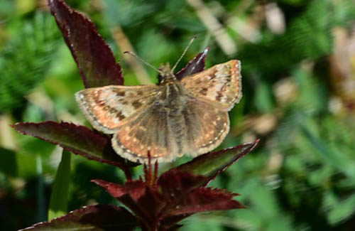 Dingy Skipper butterfly resting on plant with reddish leaves