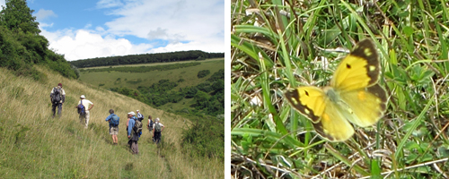 Left: Walkers on Fontmell Down. Right: Clouded Yellow: unusual shot of topside