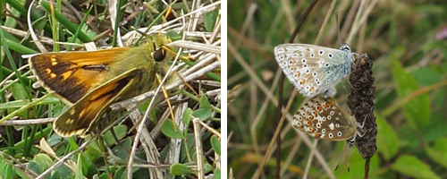 Left: Silver-spotted Skipper. Right: pair of Chalkhill Blues, mating