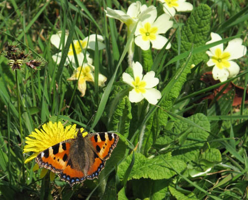 Small Tortoiseshell with open wings on a dandelion flower, with primroses in the background