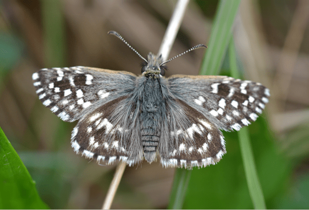 Grizzed Skipper - a very small dark brown and whtie butterfly - perched on old grass stalk