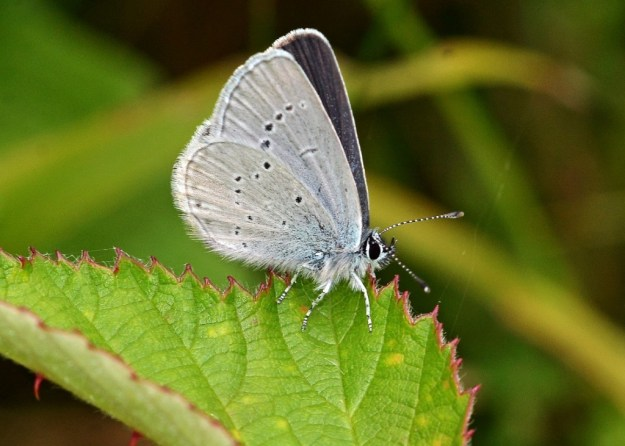 Small Blue (Underside)