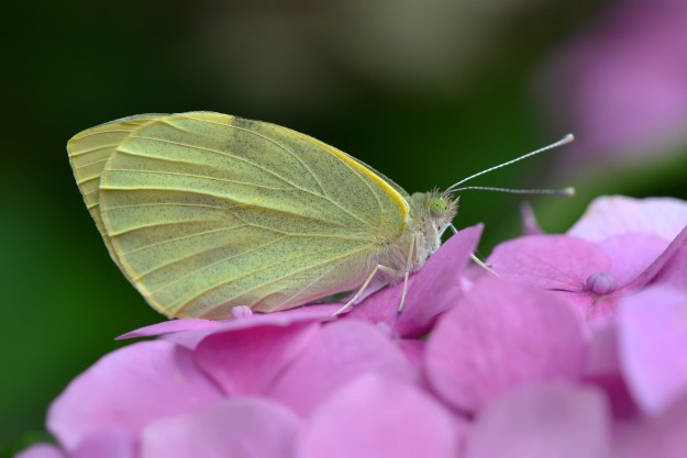 Large White. Photo: Andrew Cooper