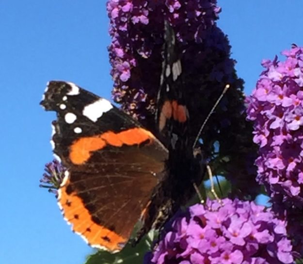Red Admiral. Photo: Elaine Conlon